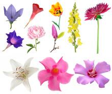 Platycodon Bell Flower