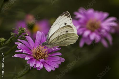 l'aster et son papillon Tablou Canvas
