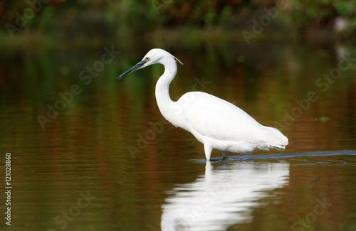Fotografie, Obraz  Little egret (Egretta garzetta), Sole bird standing in water