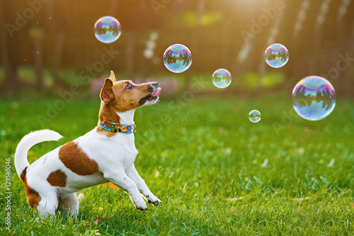 Poster Chien Puppy jack russell playing with soap bubbles in summer outdoor.