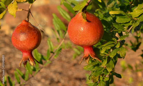 Fényképezés  Pomegranate on tree in the evening sun