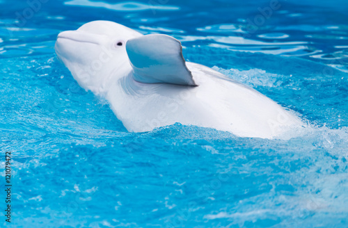 Leinwand Poster white dolphin in the pool