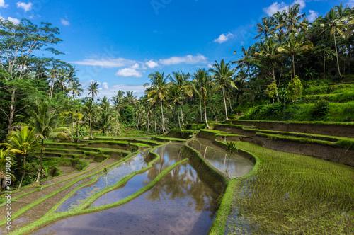 Fotobehang Rijstvelden Rizières en terrasse, Gunung Kawi, Bali, Indonésie