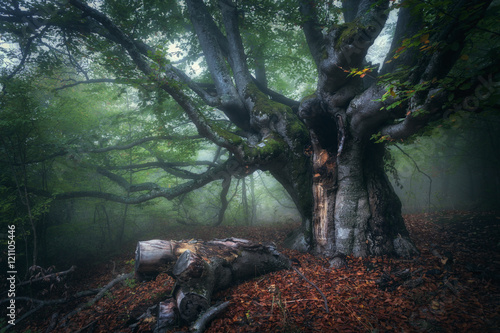 Printed kitchen splashbacks Khaki Forest in fog. Mystical autumn forest in fog in the morning. Old Tree. Beautiful landscape with trees, colorful leaves and fog. Nature background. Foggy forest with magic atmosphere