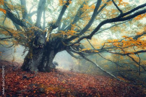 Naklejka na szafę Stare magiczne drzewo z dużymi gałęziami i pomarańczowymi liśćmi