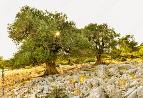 Fotoposter Olijfboom Olive tree garden in sunset or sunrise.