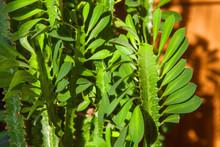 Green Leaves Of Euphorbia Trigona