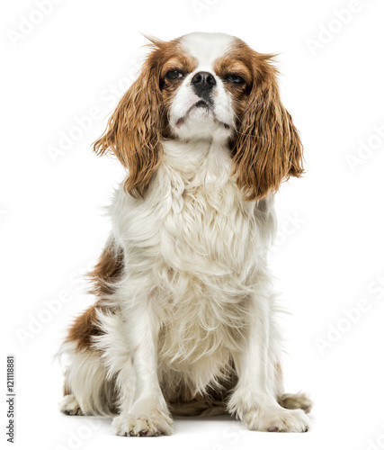 Canvas Print Cavalier King Charles Spaniel sitting, isolated on white