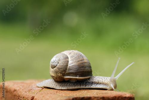 Slow snail moving along a brick