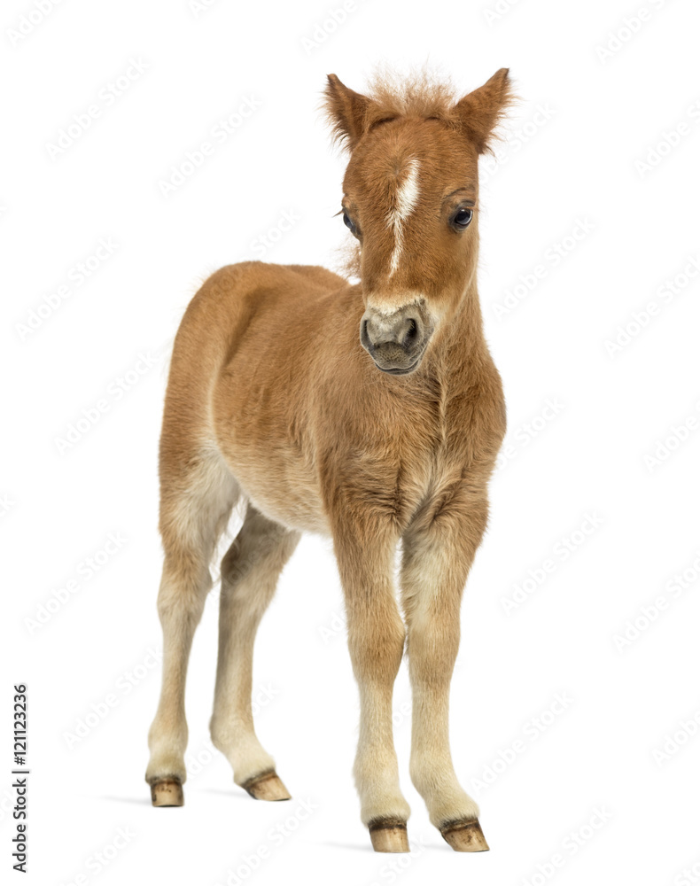 Front view of a young poney, foal against white background