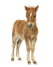 Front View Of A Young Poney, F...