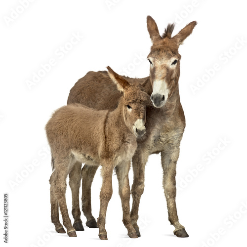 Deurstickers Ezel Mother provence donkey and her foal isolated on white