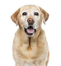 Close-up Of Labrador Retriever...