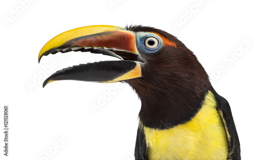 Carta da parati Green aracari opening his beak isolated on white