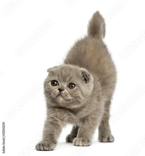 Canvas Prints Front view of a Foldex kitten stretching isolated on white