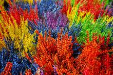Multicolored Blossoming Heathe...