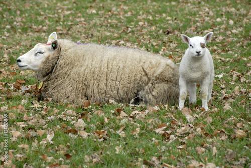 Photo Stands Grocery lam staat en kijkt in de camera terwijl moeder schaap ligt