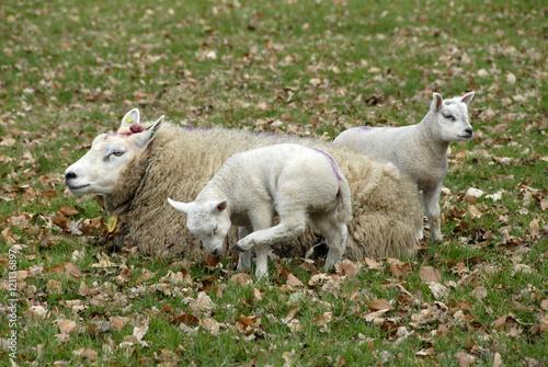Foto auf AluDibond Schaf moeder schaap met twee lammetjes in de wei tussen de herfstbladeren.