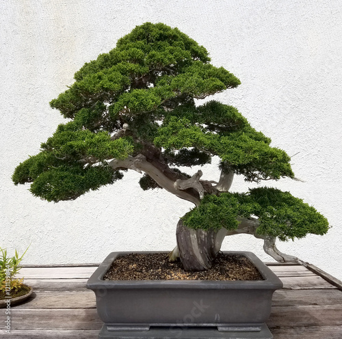 Foto op Aluminium Bonsai Bonsai and Penjing landscape with miniature evergreen tree in a tray