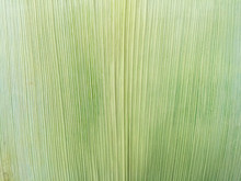 The Pattern Of Corn Husks Isolated Texture Background.