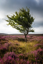 Lone Tree On Yorkshire Moors, UK