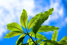 Close Up Leaf Of Mango Tree