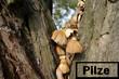 Pilze in Baum