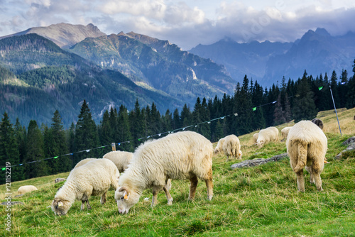 Ingelijste posters Schapen Rusinowa Polana in Tatra Mountain, Poland