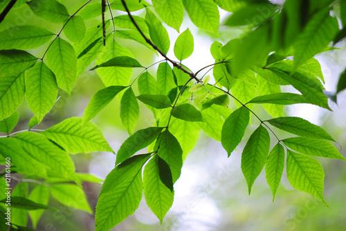 Fotografie, Obraz  Beautiful green leaves of Ash tree