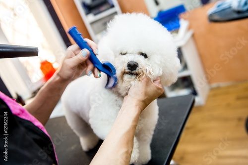 Fotografie, Obraz  Grooming dogs Bichon Frise in a professional hairdresser
