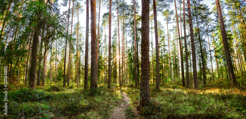 Fotografie, Obraz  the setting sun shines through the pine forest