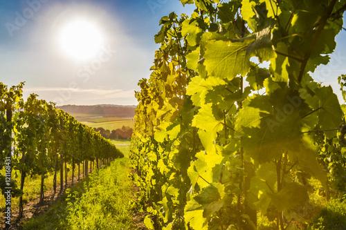 Photo sur Aluminium Vignoble Weinstöcke in der Abendsonne