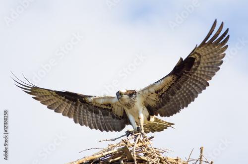 Photo  osprey's nest in Colorado