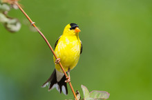 Male American Goldfinch, With ...