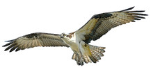 Osprey Hawk Winged Flying Hand Draw And Paint On White Background Vector Illustration.