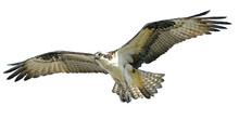 Osprey Hawk Winged Flying Hand...