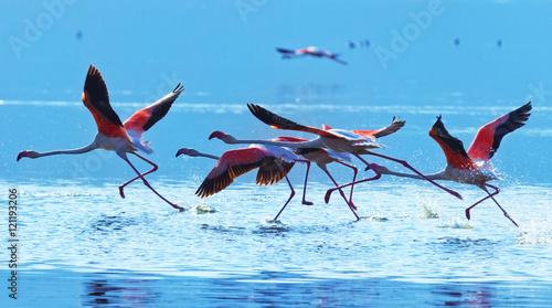 Garden Poster Flamingo Flamingo taking off at Bogoria Lake in Kenya