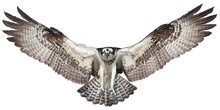 Osprey Hawk Winged Landing Hand Draw And Paint On White Background Vector Illustration.