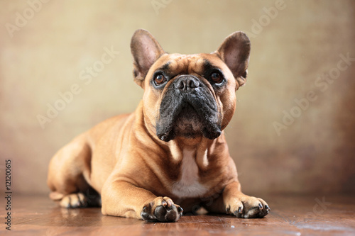 Keuken foto achterwand Franse bulldog liegende Französische Bulldogge im Studio