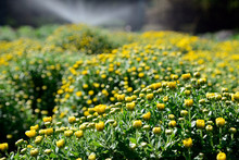 Yellow Chrysanthemum  In The G...