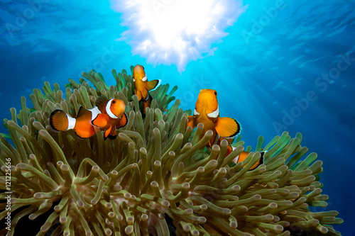 Ocellaris clownfish Tablou Canvas