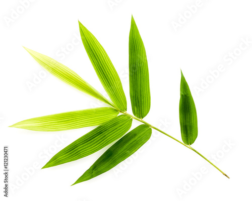 Branch of bamboo leaves isolated on white background. Botanical