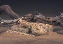 Desert Horned Viper At Night