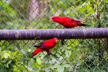Crimson Rosella Or Red Parrot ...