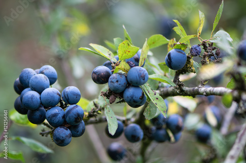 Leinwand Poster Sloe berries on blackthorn (Prunus spinosa)