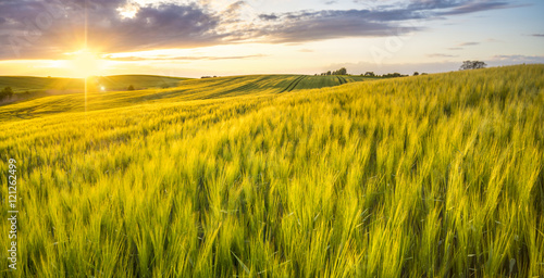 Ingelijste posters Platteland sunset over a field of young wheat