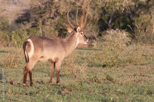Waterbuck, Kobus ellipsipymaus