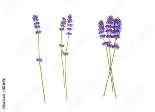 Poster Lavendel Lavender flowers isolated on white
