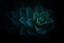 Sedum Succulent Perennial Plan...