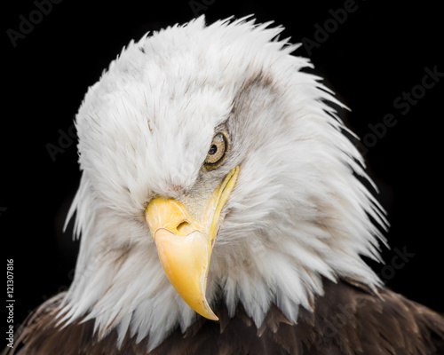 Poster Aigle Bald Eagle IX